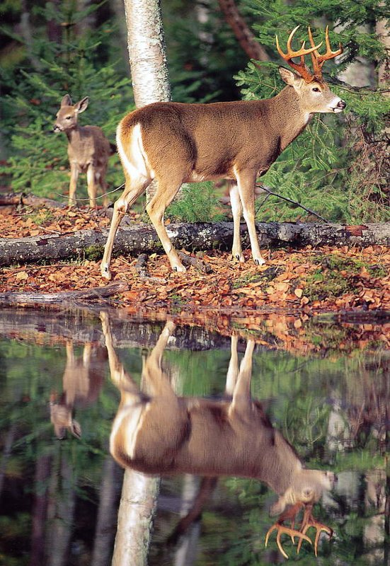 The Scenic Bitterroot River Valley is home to a large population of Whitetail Deer. - Bitterroot Rafting Adventures Fly Fishing Float Trips S cenic Rafting Trips